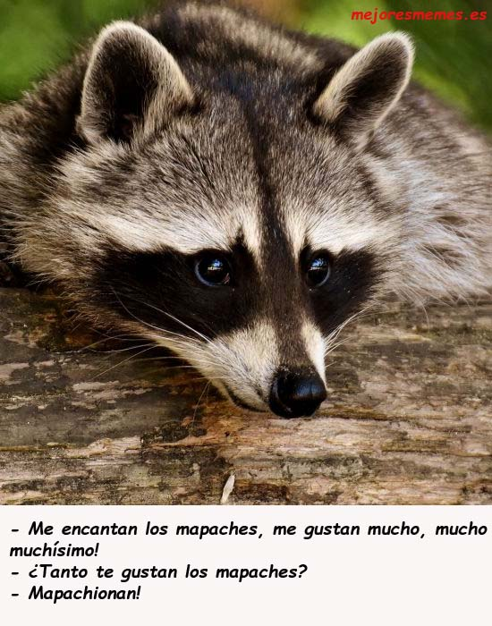 Me gustan los mapaches