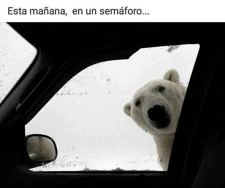 Esta mañana en un semáforo oso polar